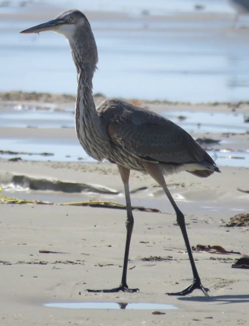 Great Blue Heron swallowing fish.