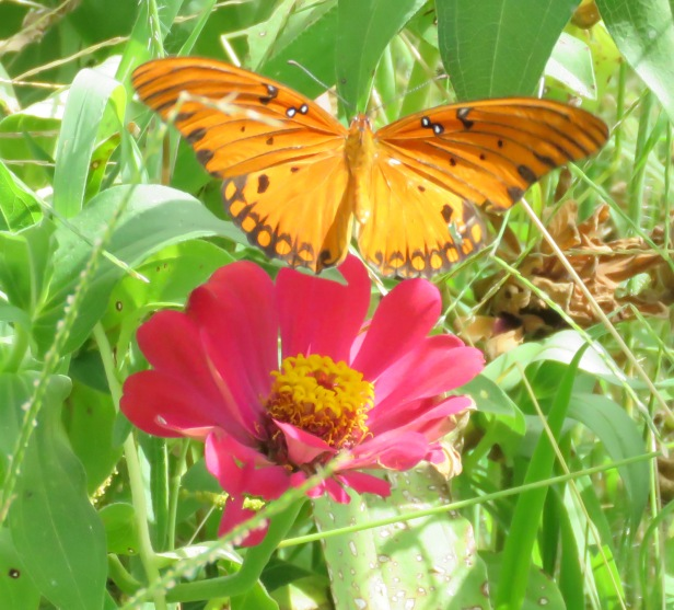 Gulf Fritillary taking off from zinnia.