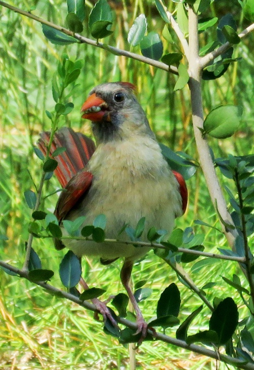 Female Northern Cardinal with big juicy caterpillar.