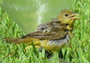 Summer Tanager female enjoying the sprinkler.