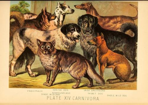 Plate XIV, Carnivora