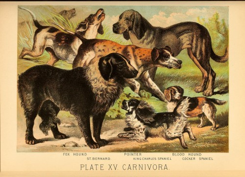 Carnivora, Plate XV