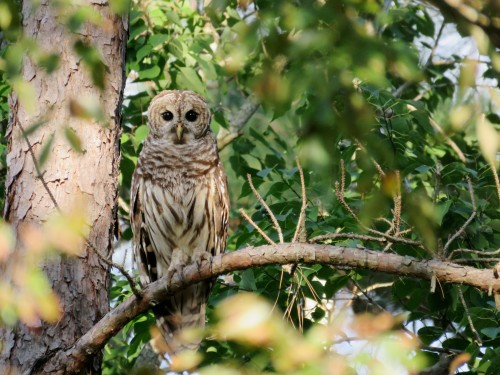 Barred Owl in Loblolly Pine
