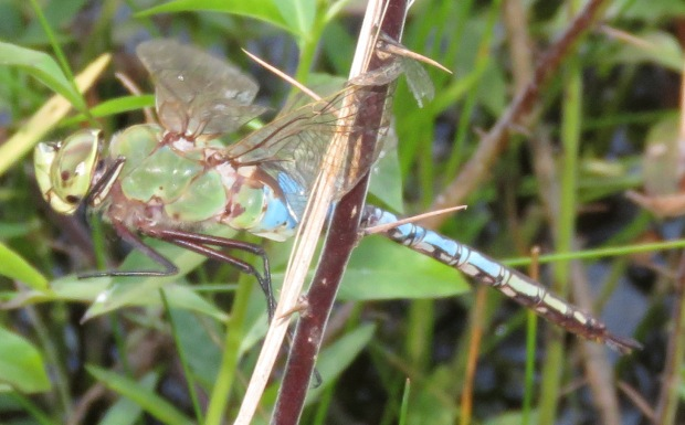 Common Green Darner.