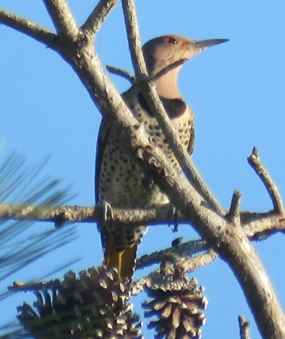 Northern Flicker. I usually see one, one day a year. Today was that day!