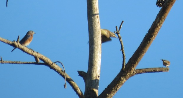 Eastern Bluebird, Yellow-bellied Sapsucker, and what I think is a Chipping Sparrow.