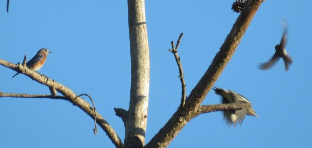 I have no idea if the sapsucker purposely chased the sparrow or if it was just a coincidence that the sparrow took off.