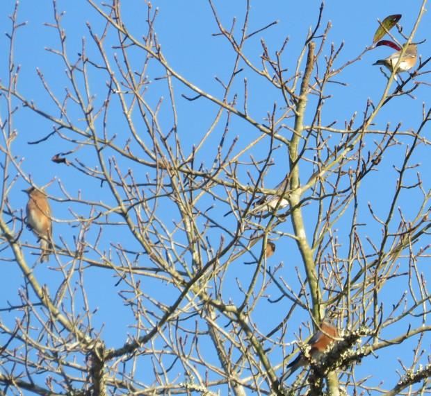 Four Eastern Bluebirds.