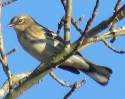 The best picture I have ever gotten of a Yellow-rumped Warbler.