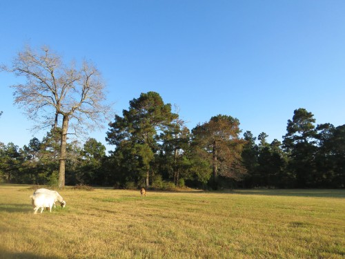 Tupelos (bare tree at left and reddish tree in center) and Loblolly Pines.