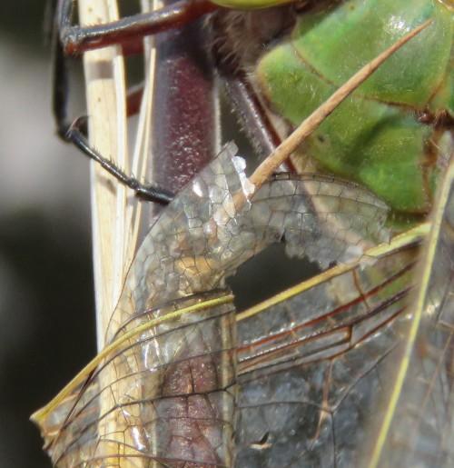 Close-up of the wing wrapped around the thorn.