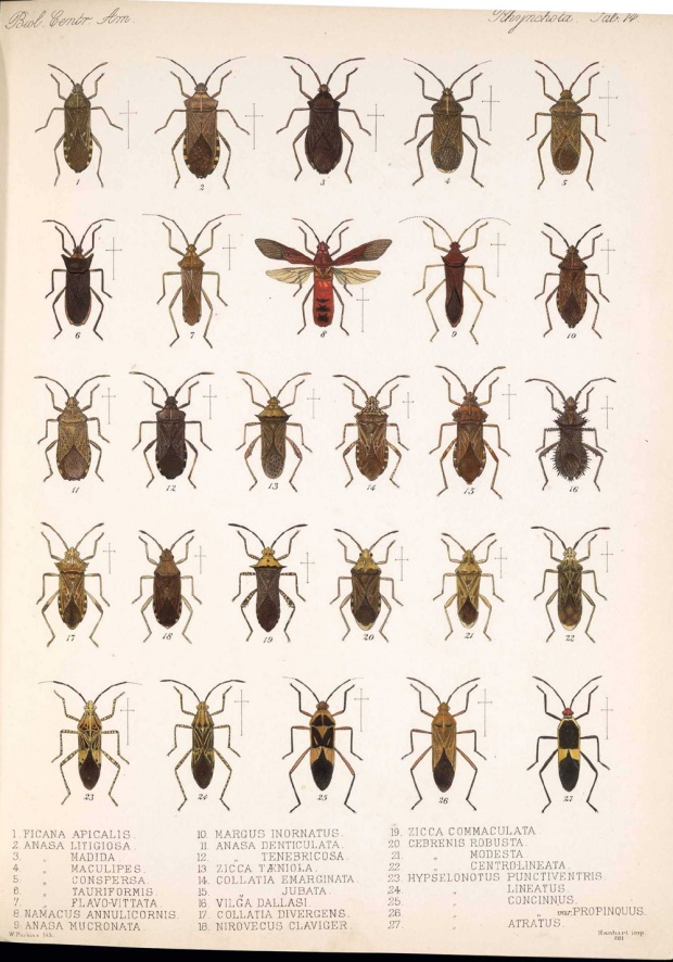 Our Hypsolonotus is number 23 in this plate from the Biologia Centrali-America. Source.
