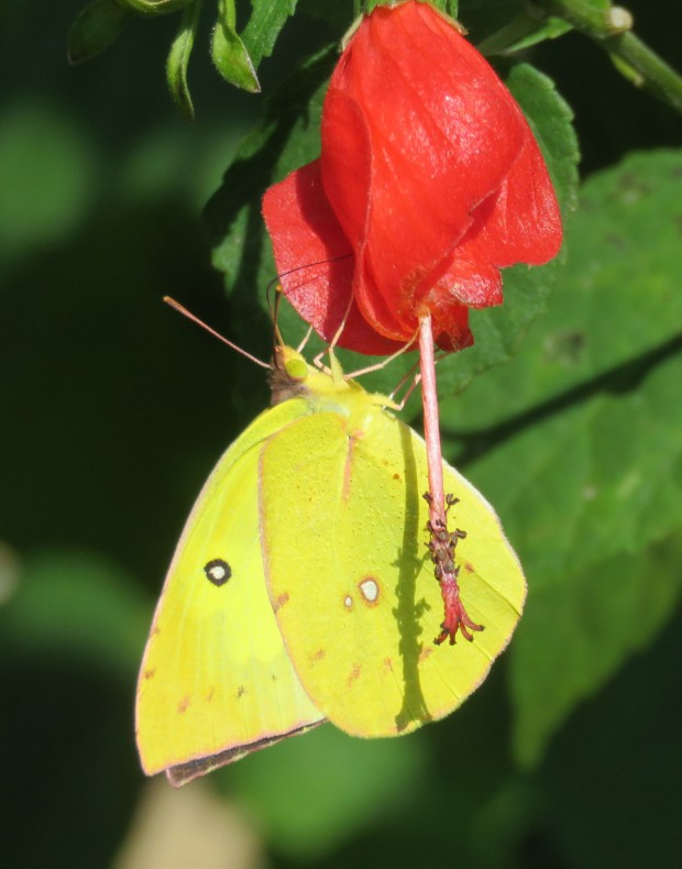 Common Sulphur.