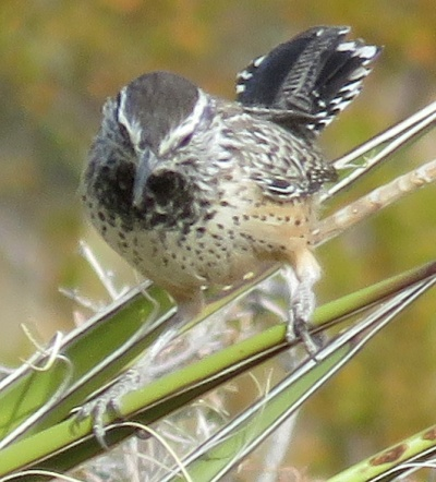 Cactus Wren. They are like miniature Roadrunners.