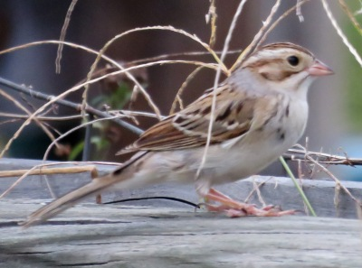 Mystery sparrow.