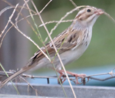"The pink bill would tell me ""Field Sparrow"" but there's no white eye ring. I'm sure you noticed that immediately too."