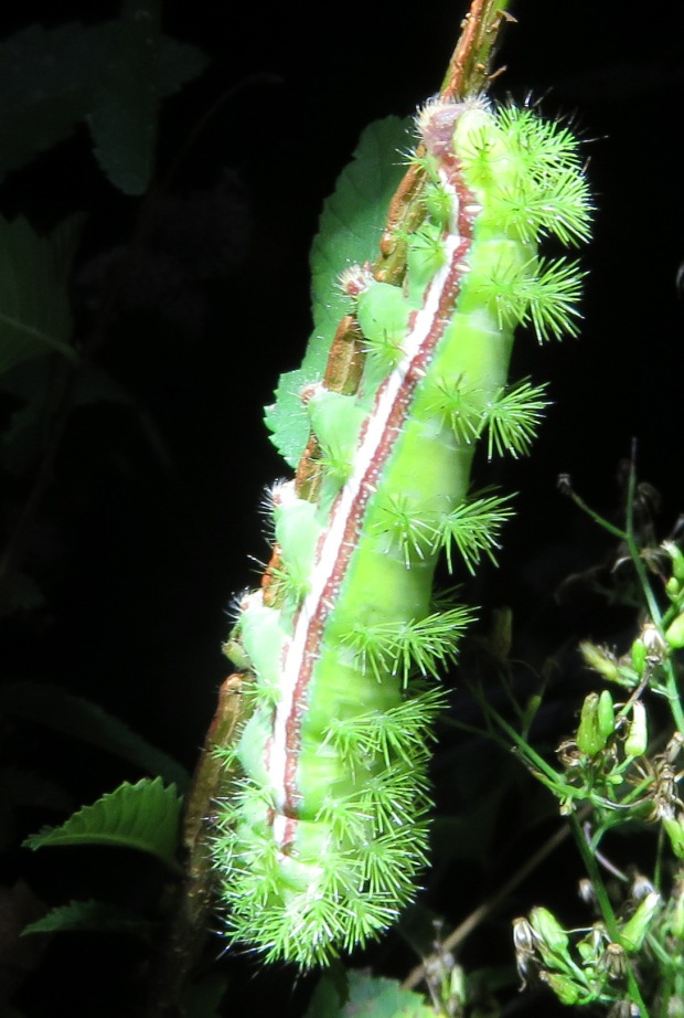 Io moth caterpillar, munching on an elm sapling in late October.
