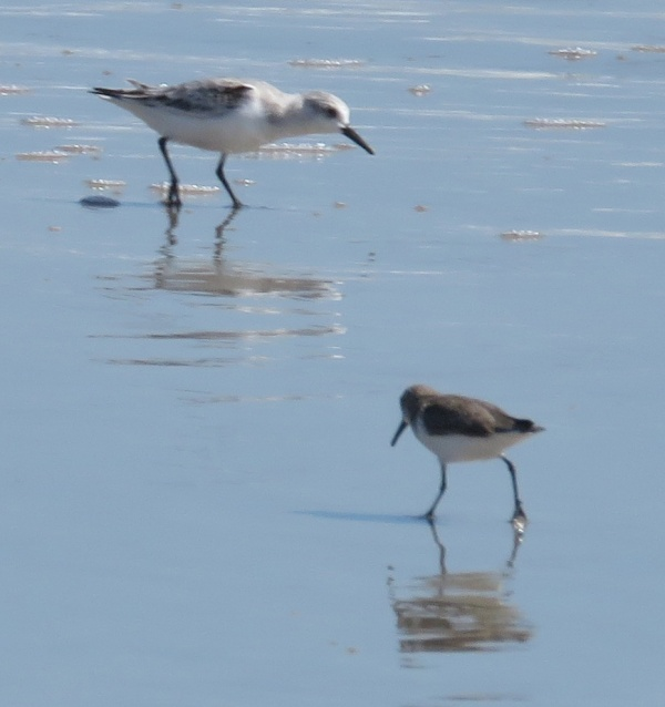 Sanderling and Sandpiper.