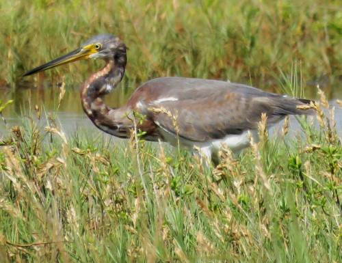 Another Tri-colored Heron, out in the marsh grasses.