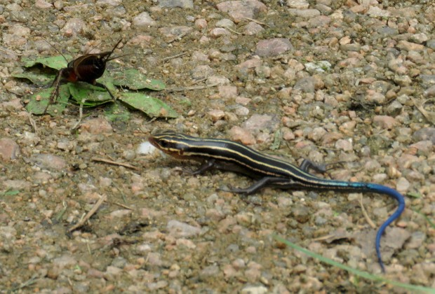 Five-lined skink and cricket.