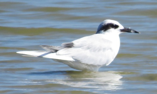 A delicate Forsters Tern.