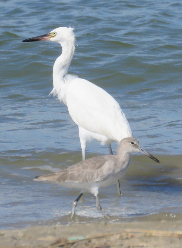 Reddish Egret (white morph) and Willet.