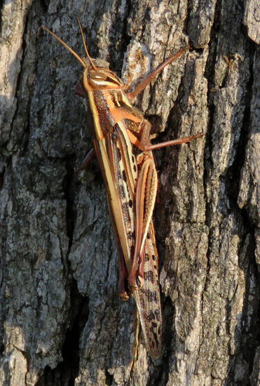 grasshopper on tree bark