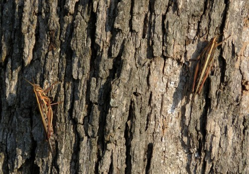 2 American Bird grasshoppers