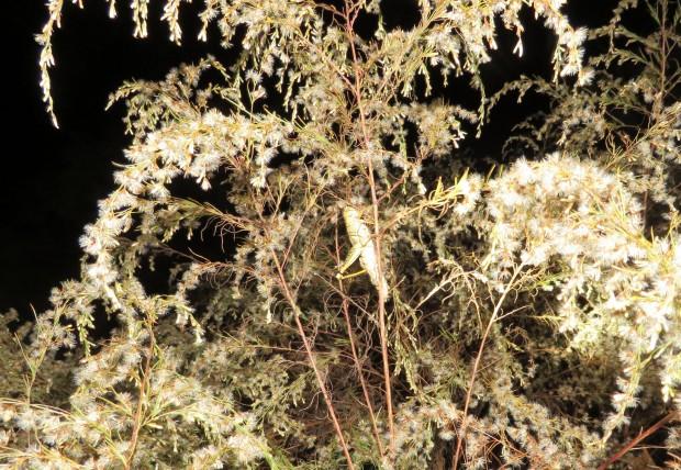 Grasshopper hide-out.
