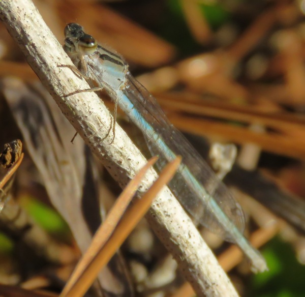 Familiar Bluet female, I think.