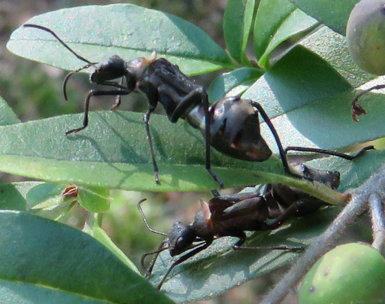 Broad-headed Bug nymphs.