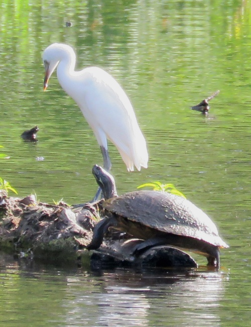 A young Little Blue Heron landed on the log where the turtle was basking...