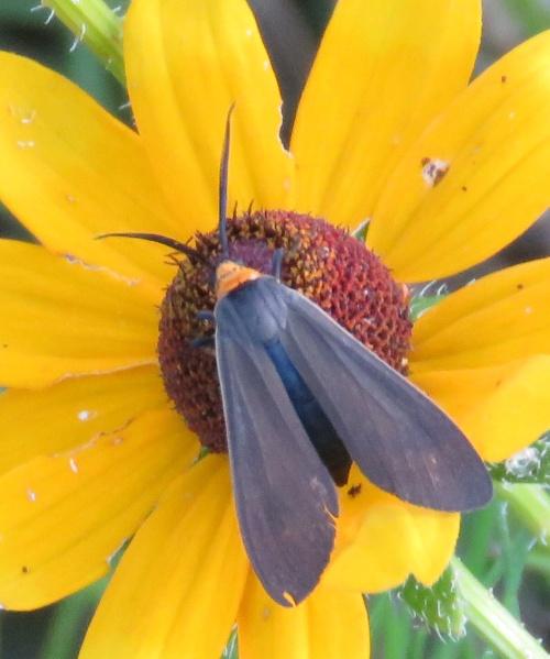 black moth on flower
