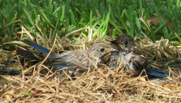 Young Eastern Bluebirds checking out a sprinkler.