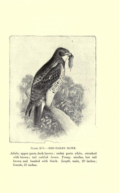 Red-tailed Hawk, Plate XVI.