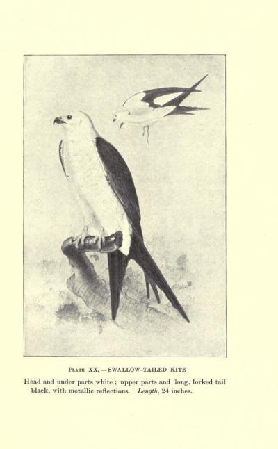 Swallow-tailed Kite, Plate XX.