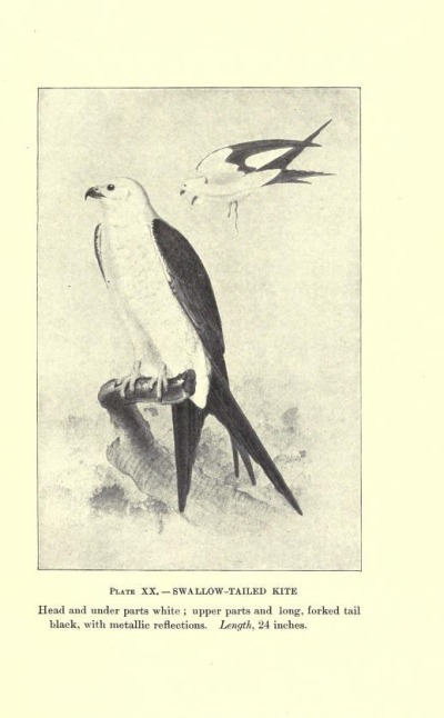 Swallow-tailed Kite, Plate XX.