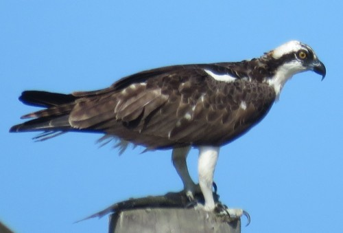 An Osprey with a fish, on top of a power pole.
