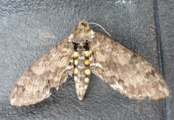 Manduca sexta or Carolina Sphinx, that I found dead.