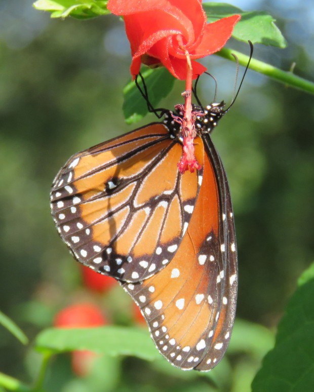 Queen butterfly on Turk's Cap.