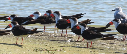 Black Skimmers were there by the hundreds.