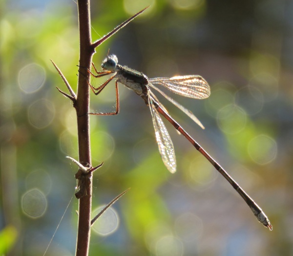 Swamp Spreadwing.