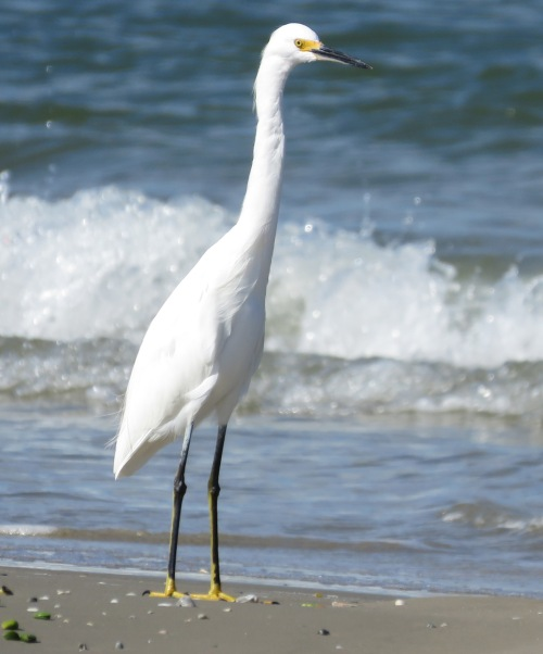 A Snowy Egret posing by the waves.