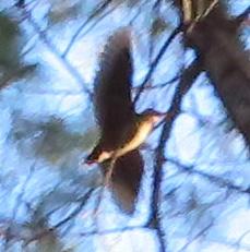American Woodcock in flight.