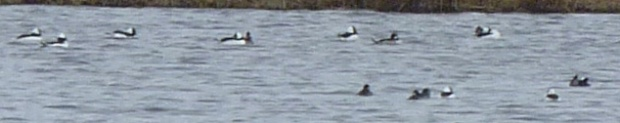 Buffleheads. The males have large white patches on their heads and the females have small ones.