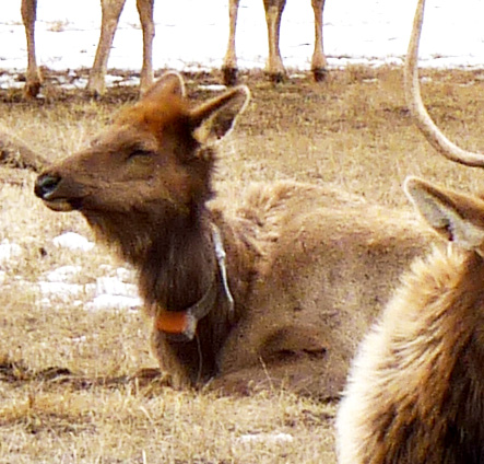 A collared elk.