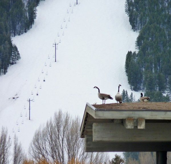 I love this photo because it looks like the geese are studying the ski lift...