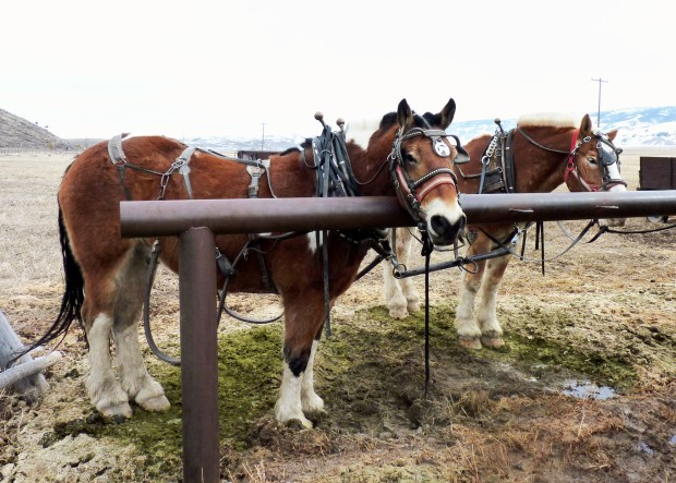 It was too warm for sleighs, so the draft horses pulled wagons for our tour.