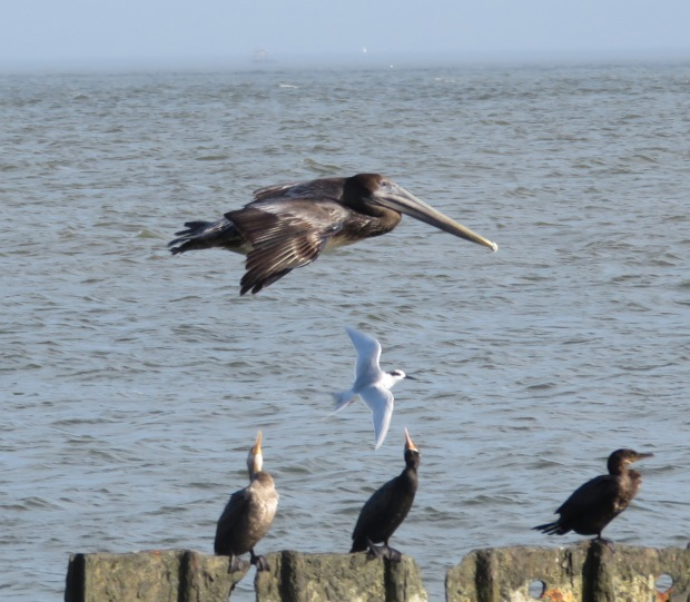 Pelican edging ahead...