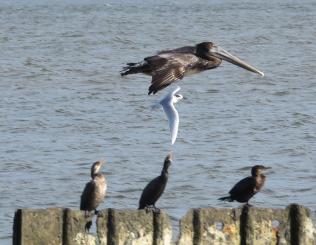 This picture is blurry but I like how you can see the cormorants' heads turning to catch the action.